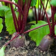 Beetroot Forono - Appx 150 seeds